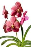 Vanda Elisabeth Barnea orchid Stock Photos