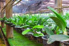 Vanda in farm for sale and export Royalty Free Stock Photography