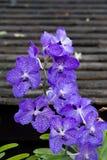 Vanda-hookerriana, Orchideenpurpur Stockfoto