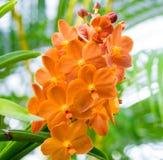 Vanda hybrid- orkidé i apelsin royaltyfri bild