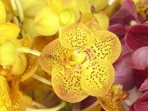 Vanda jaune Images libres de droits