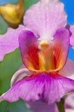 Vanda Miss Joaquim Royaltyfria Bilder