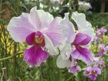 Vanda Miss Joaquim Orchid arkivfoton