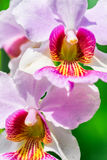 Vanda Miss Joaquim orchid, national flower of Sing Stock Photography