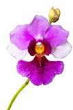 Vanda Miss Joaquim Stock Image