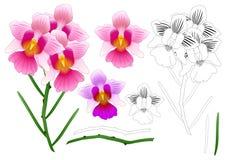 Vanda Miss Joaquim Orchid Outline. Singapore National Flower. isolated on White Background. Vector Illustration. Vanda Miss Joaquim Orchid Outline. Singapore royalty free illustration