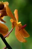 Vanda, orchidée Photo libre de droits