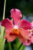 Vanda, orchidée Photographie stock