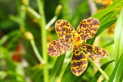 Vanda orchid Royalty Free Stock Images