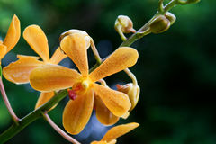 Vanda, Orchid. Vanda orchid photographed in Barbados in October 2007 Royalty Free Stock Photo