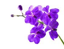 Vanda Orchid Royaltyfri Bild