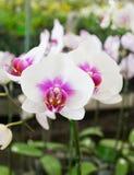 Vanda Orchid Photos libres de droits