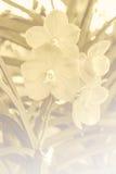 Vanda Orchid Stock Afbeelding