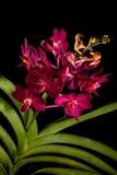 Vanda Orchid Fotos de Stock