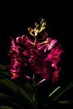 Vanda Orchid Foto de Stock