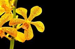 Vanda Orchid Royalty Free Stock Image