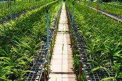 Vanda orchid farm. Royalty Free Stock Images