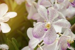 Vanda Orchid Flowers di fioritura nel giardino fotografia stock libera da diritti