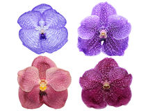 Vanda orchid flowers isolated Stock Photography