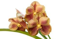 Vanda orchid flowers Royalty Free Stock Image