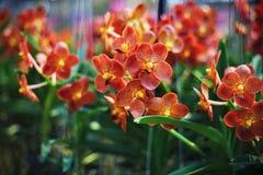 Vanda orchid flowers. Orange-red vanda orchid flowers blooming at orchid nursery Royalty Free Stock Image
