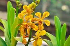 Vanda Orchid Royalty Free Stock Photo