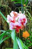 Vanda orchid Stock Photography