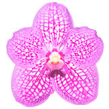 Vanda Orchid isolated Royalty Free Stock Image