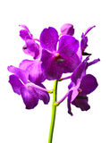 Vanda orchid. Isolated with a white background Stock Images