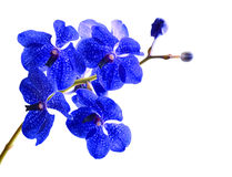 Vanda orchid. Isolated with a white background Stock Photo
