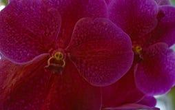 Vanda Orchid magenta con la cara amarilla Fotografía de archivo