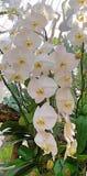 Vanda Orchid Orchidaceae fotografie stock
