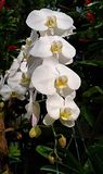 Vanda Orchid Orchidaceae imagen de archivo libre de regalías