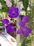 Vanda Orchid Orchidaceae fotografia stock libera da diritti
