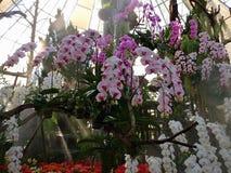 Vanda Orchid Orchidaceae immagine stock