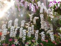 Vanda Orchid Orchidaceae fotografia stock