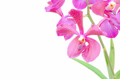 Vanda orchid pink flowers Royalty Free Stock Image