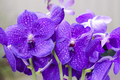 Vanda Orchid roxa  Fotografia de Stock Royalty Free