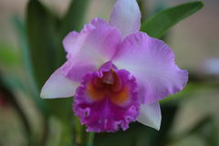 Vanda orchid from Thailand Stock Photography