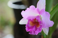 Vanda orchid from Thailand Stock Photos