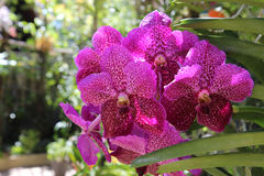 Vanda orchid in a tropical botanic garden. Isolated on natural background. Picture was taken in Phuket Botanic Garden, Thailand Royalty Free Stock Photos