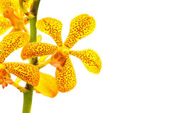 Vanda Orchid Stock Photo