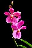 Vanda orchidea Fotografia Stock