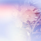 Vanda orchidea Zdjęcie Royalty Free