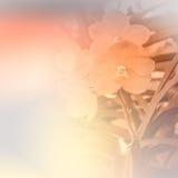 Vanda orchidea Zdjęcie Stock