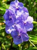 Vanda orchidea w Tajlandia ogródzie Zdjęcie Royalty Free