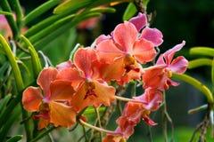Vanda, Orchidee Royalty-vrije Stock Afbeelding