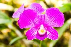 Vanda-Orchidee im chiangmai Thailand Stockbilder