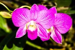 Vanda-Orchidee im chiangmai Thailand Stockfotografie