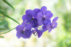 Vanda-Orchidee und grüne Blätter Lizenzfreies Stockbild